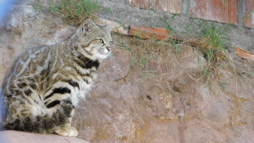 Abused Andean Mountain Cat enjoying new home