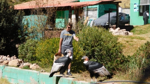 Scotty working around some condors... yea, just another volunteer day. lol