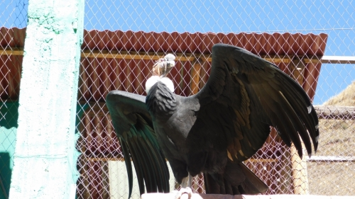 Condor shows off impressive wings